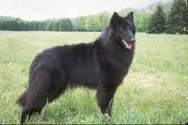 belgian sheepdog breeders in texas belgian sheepdog breed information and pictures on puppyfinder com