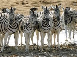 Zebra Update