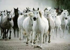 تاريخ الحصان العربي في العالم Images?q=tbn:ANd9GcS7ErYKzkA0nMJLWegO_LM6JprReCo0xNhrTuSL3Qqa3_n5Mo8_