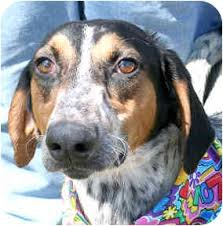bluetick coonhound puppies for sale in ohio eddie adopted dog 586 cincinnati oh greyhound bluetick