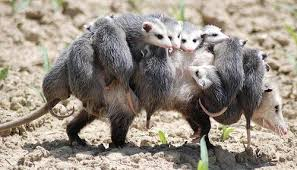 How Do You Get Rid Of Possums In The Backyard by Everything What U0027s Wrong Of Possums It U0027s All Of Them The Toast