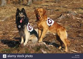 belgian shepherd tervuren belgian shepherd tervuren and golden retriever working as search