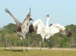 birds whooping and sandhill cranes swp 19mar17 24 e1490288590778 jpg