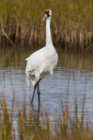 beaumont man faces federal charges in whooping cranes u0027 death