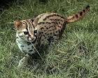 Image result for Prionailurus bengalensis