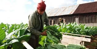 La presente campaña tabacalera en el occidente cubano tuvo severas afectaciones por las lluvias y un invierno sin frío.