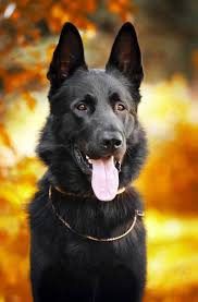 belgian shepherd uk breeders 7 things you didn u0027t know about the black german shepherd animalso
