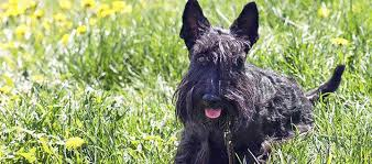 zwerg affenpinscher miniature schnauzer dog breed