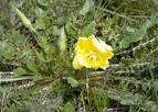 Image result for Oenothera triloba