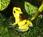 Image result for Phyllobates bicolor