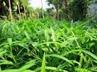 ปลูกผักบุ้งจีน (Water Convolvulus) | สะตอฟอร์ยู ::: สนับสนุนให้คน ...