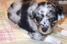 australian shepherd queen creek az australian shepherd puppies puppy dog gallery