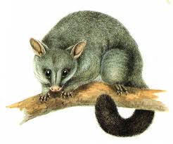 How Do You Get Rid Of Possums In The Backyard by How To Get Rid Of Possums