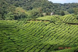 الشاي الماليزيMALAYSIAN TEA Images?q=tbn:ANd9GcSBaEhXWavNfnJZSpNd-0c8JrkbHpkfBd47AZ5ED32-iR8T6pcY