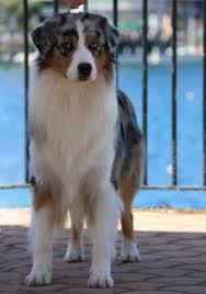 australian shepherd queen creek az australian shepherds blue merle australian shepherds pinterest