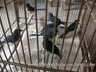 Jual Burung Robin Dijual   Rumah DKI JAKARTA