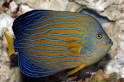 Image result for Chaetodontoplus chrysocephalus