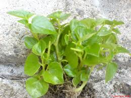 image of pansit-pansitan plant, borrowed from t3.gstatic.com