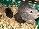 baby guinea pigs just born