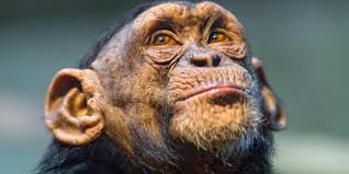 bbc earth chimps filmed grieving for dead friend