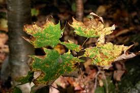 Maple Tree Symbolism by Maple Tree Diseases