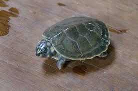 Six-tubercled Amazon River turtle