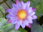 Pin Bunga Gambar Teratai Indah on Pinterest