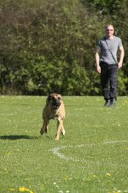 belgian shepherd uk breeders belgian malinois try before you buy positive police dogs