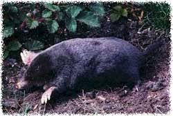 How Do You Get Rid Of Possums In The Backyard by How To Get Rid Of Moles From Yard And Lawn The Animals