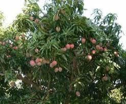 Mangosteen Fruit الابداع images?q=tbn:ANd9GcS