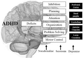 www frontiersin org  FIGURE    Main altered brain structures in ADHD     Frontiers