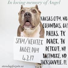 american pitbull terrier for sale in dallas texas sufp foundation spay neuter angel day stand up for pits foundation