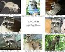 how long do baby raccoons stay with their mother