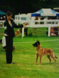 belgian shepherd uk breeders calm dog training canine affinity leads to miracles dog showing