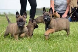 belgian sheepdog breeders in texas our dutch shepherds earn their stripes dutch shepherd puppies