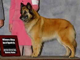 belgian shepherd stuffed animal intention hill puppies for sale