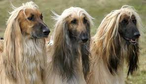 afghan hound long haired dogs afghan hound dog breed information and images k9rl