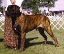 reverse brindle english mastiff