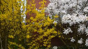 Tree With Bright Yellow Flowers - this is crane shot of tree branches with bright yellow leaves