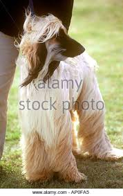 afghan hound long haired dogs afghan hound at crufts stock photos u0026 afghan hound at crufts stock