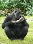 Image result for Gorilla gorilla
