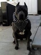 قلاده سگ جنگی برای گرگ