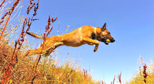 belgian shepherd uk breeders 5 things to know about belgian malinois petful