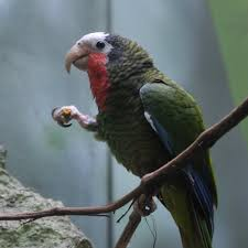 Cuban amazon