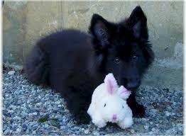 belgian shepherd stuffed animal reddit this is sam aww