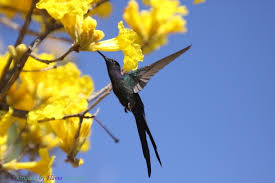 Tree With Bright Yellow Flowers - swallow tailed hummingbird feeding on the bright yellow flowers of
