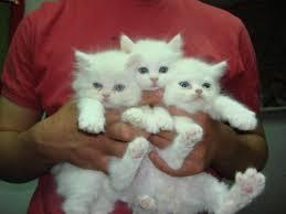 صور قطط تدحك,صور قطط,صور قطط جميلة,صور قطط حلوه Images?q=tbn:ANd9GcSP3X1yWEw7V5K_20E-A9_to9UDCSqkAJyoX9EUnSC8HR8KGlRL