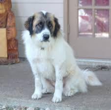 3 australian shepherd mix puppies for adoption st bernard mix stcloudsrescue org