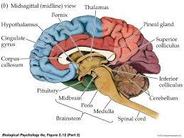 Sheep Brain Anatomy Game Sagittal Plane Brain Amygdala Google Search Neuroanatomy