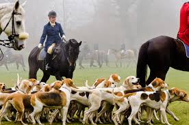 training a bluetick coonhound to hunt long ears blog coonhound u0026 foxhound companions